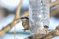 Bargla ptak zdjęcie stock