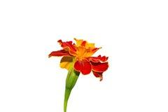 Barhatets blomma på en vit bakgrund Arkivbild
