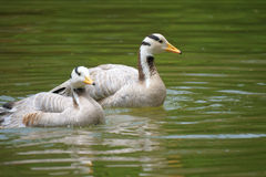 Barhead geese Stock Photography