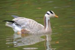 Barhead goose Stock Photography
