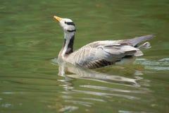 Barhead goose Royalty Free Stock Image