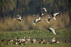 Barheaded Geese Landing Stock Image