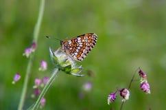 Bariatrica Galatea πεταλούδων Στοκ φωτογραφίες με δικαίωμα ελεύθερης χρήσης