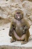 Baring Teeth. A young Hamadryas baboon bares his teeth Stock Images