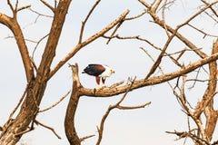 Baringo湖 鱼鹰吞食鱼 肯尼亚 库存图片