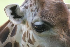 Baringo长颈鹿-长颈鹿camelopardalis rothschildii 图库摄影