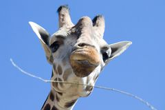 Baringo Giraffe Stockfotos