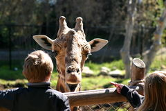 Baringo Giraffe (4763). The little girl is feeding the Baringo Giraffe Royalty Free Stock Photos