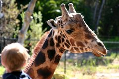 Baringo Giraffe Stock Photography