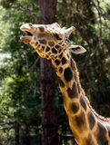 Baringo Giraffe Royalty Free Stock Images