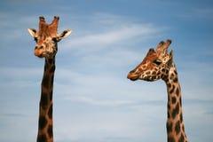 Baringo Giraffe - afrikanisches Tier lizenzfreies stockfoto