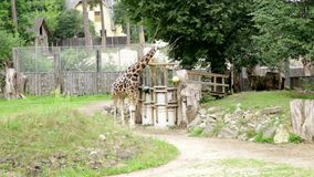 Baringo giraffe giraffa camelopardalis rothschildi wild animals family walking. Looking for leaves stock video