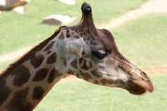 Baringo Giraffe - Giraffa camelopardalis rothschildii Stock Photography