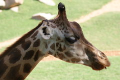 Baringo Giraffe - Giraffa camelopardalis rothschildii Stock Images