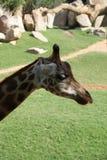 Baringo Giraffe - Giraffa camelopardalis rothschildii Stock Photo