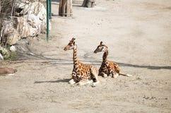 Baringo giraffe Stock Photo