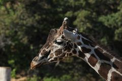 Baringo GiraffeGiraffa camelopardalis. A Baringo GiraffeGiraffa camelopardalis at a local zoo Royalty Free Stock Photography