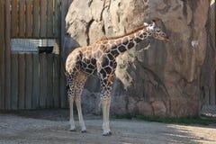 Baringo GiraffeGiraffa camelopardalis. A Baringo GiraffeGiraffa camelopardalis at a local zoo Stock Image