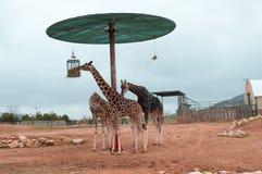 Baringo Giraffes eating Royalty Free Stock Images