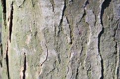bark Árvore Casca de madeira E nave r Textura de madeira Texturas naturais Fundo Backgrou de madeira imagem de stock