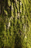 BARK. Tree bark Royalty Free Stock Photo