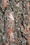 Bark. Rugged and rough oak tree bark Royalty Free Stock Images