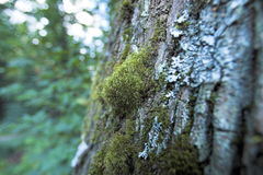 Bark. And moss Royalty Free Stock Photo