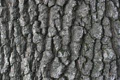 Bark. Oak bark close-up as a background autumn Stock Photo