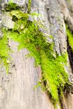 Bark. Of a tree covered by a moss Royalty Free Stock Photography