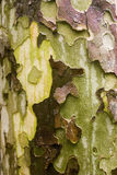 Bark. Red, green and yelow bark in autumn Stock Image