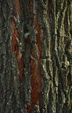 Bark. Tree bark covered with lichen Royalty Free Stock Image