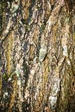 Bark. Part of the bark of a tree , texture , wood Royalty Free Stock Images
