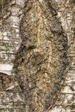 bark Fotografia de Stock Royalty Free