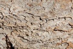 The bark of an acacia tree Stock Photo