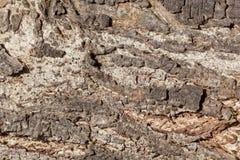 The bark of an acacia tree Royalty Free Stock Image