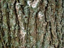 Bark of acacia. Tree bark moss different tones Stock Photography