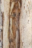 Bark of acacia tree Stock Images