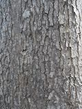 Bark of the african tulip tree. Showing surface texture Stock Photo