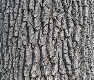 Bark of an ancient oak royalty free stock photography