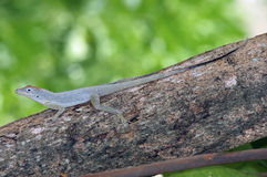 Bark anole, Turks and Caicos Stock Photography