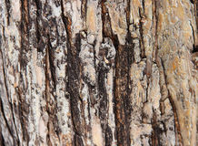 Bark of apple Stock Photography