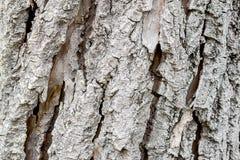 The bark of an aspen Stock Photos