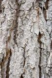 The bark of an aspen Royalty Free Stock Photo