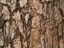 Bark background Royalty Free Stock Image