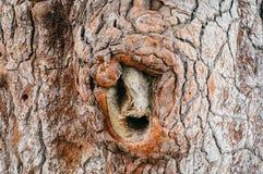 Bark background of massive pine tree Royalty Free Stock Photo