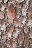 Bark. Background of pine tree Royalty Free Stock Photography