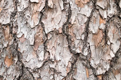 Bark. Background of pine tree Royalty Free Stock Images
