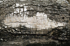 Bark background. Texture white bard wood Stock Images