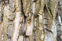 Detailed texture of poplar tree trunk, seamless background royalty free stock photo
