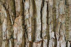 Detailed texture of poplar tree trunk, seamless background stock photos